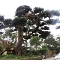 Ngắm Cây Tùng Cổ Lọt Top 100 Cây Cảnh Đẹp Nhất Thế Giới