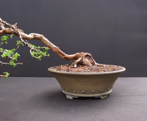 Gốc bonsai nua đẹp