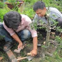 Kỹ thuật uốn cành cho cây Bonsai