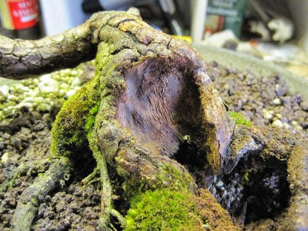 Mài sơ bộ gốc bonsai
