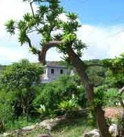 """Tùng la hán – """"người lạ từng quen"""" với hòn đảo CÔ TÔ"""