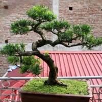 Cách nhân giống cây Tùng la hán