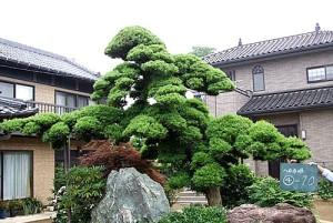 Cây vạn niên tùng ở Nhật Bản