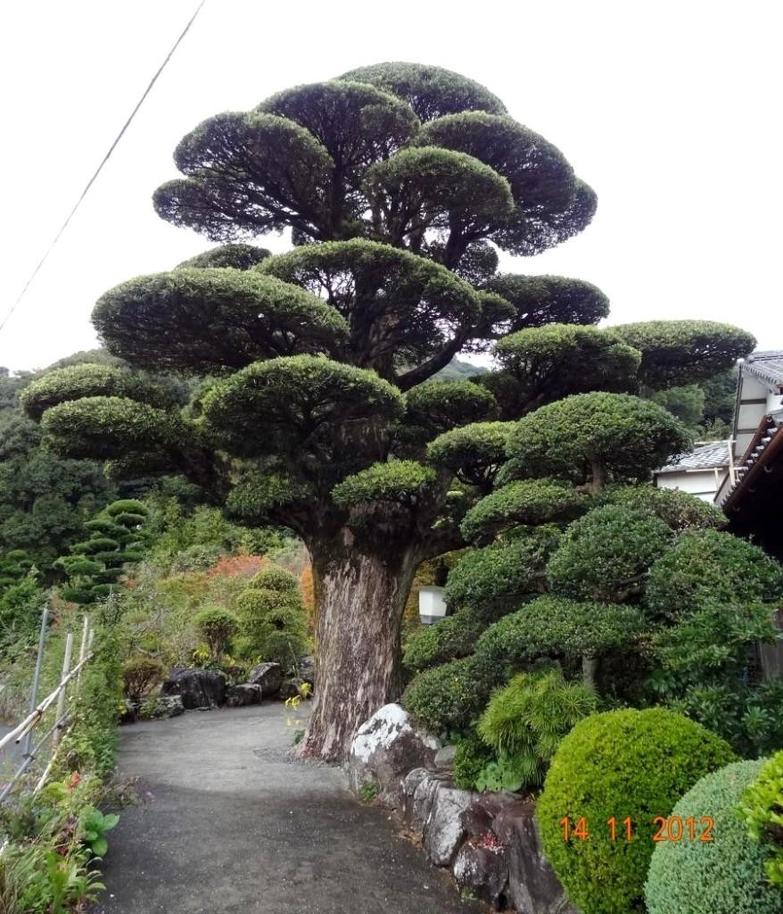 theo người Nhật , Cây cũng như con người , Cụ này đã sống hơn 500 tuổi , đã hấp thụ tinh khí TRỜI và ĐẤT , nếu mỗi sáng bạn đứng dưới gốc cây , bạn cũng sẽ thấy tâm hồn thư thái ... như một luồng sinh khí trời đất bổ sung cho bạn tràn đầy một năng lượng tuyệt vời.