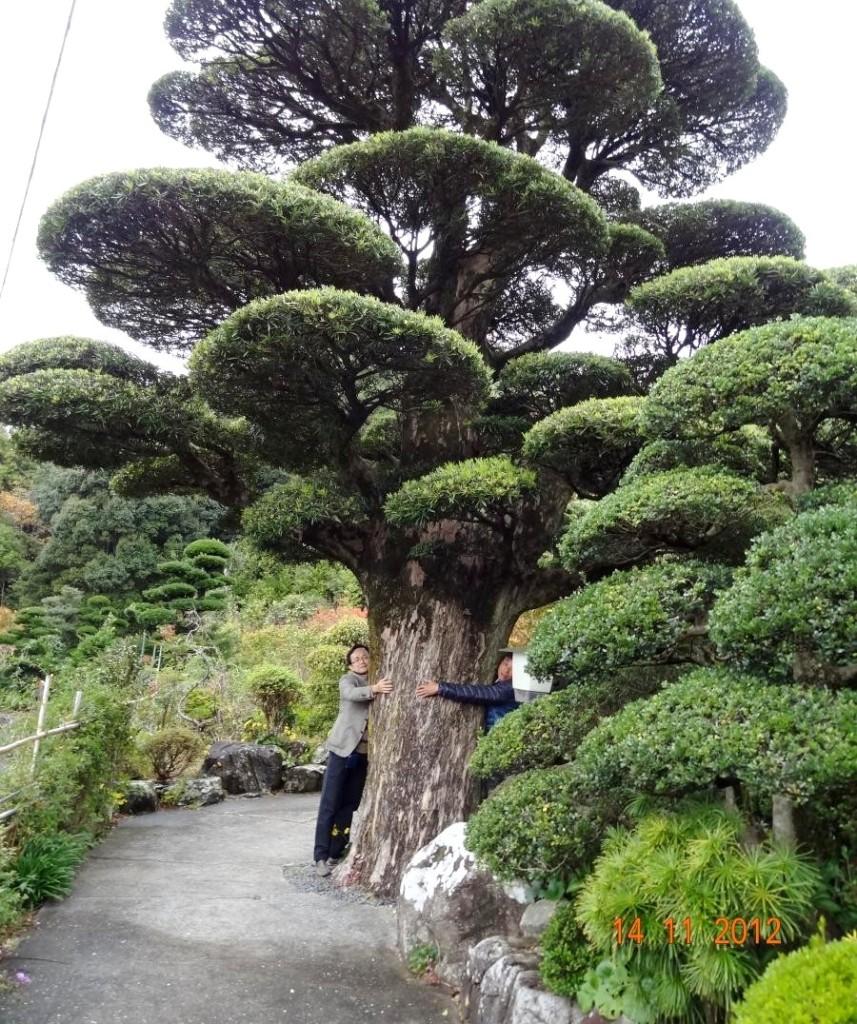 Đường kính của tán cây này khoảng 12 mét , nhánh cây thì to như một cây bình thường.