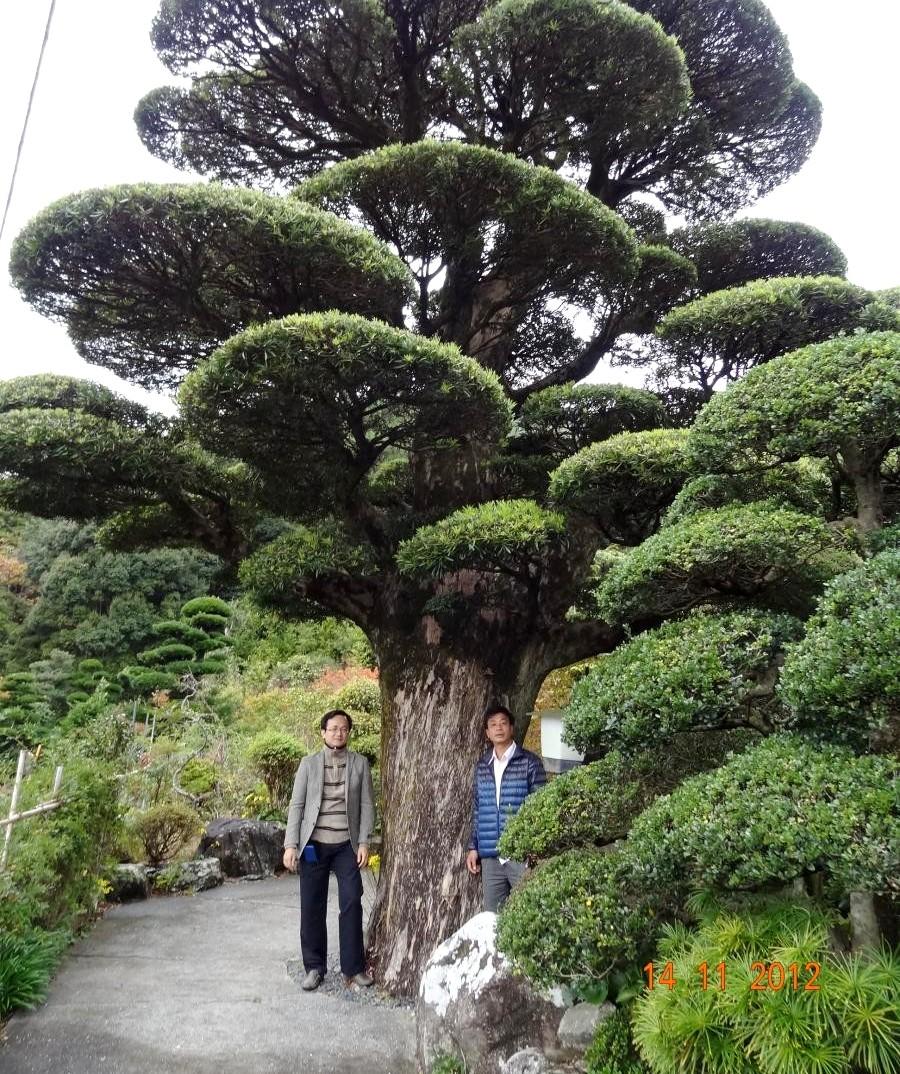 Điều đặc biệt ở chỗ , cây này đã được nuôi dưỡng qua 6 đời người , từ khi dời cây trên núi về, cây chỉ đang dạng phôi , các chi cành đều chưa có như bây giờ , hỏi qua Ông cụ 90 tuổi ( đời thứ 6 ) , thì ông cũng chỉ nghe kể lại là cây có độ tuổi khoảng hơn 500 năm ( đang làm giấy chứng nhận của Hiệp hội cây cảnh Nhật bản ).